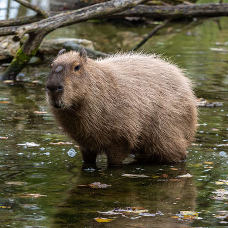 The capybara, Hydrochoerus hydrochaeris is a mammal native to South America. It is the largest living rodent in the world.