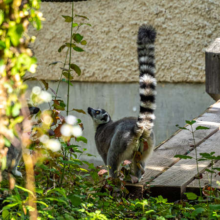 The ring-tailed lemur, Lemur catta is a large strepsirrhine primate and the most recognized lemur due to its long, black and white ringed tail.Like all lemurs it is endemic to the island of Madagascar