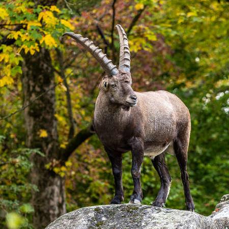 Male mountain ibex - capra ibex in the zoo Banco de Imagens