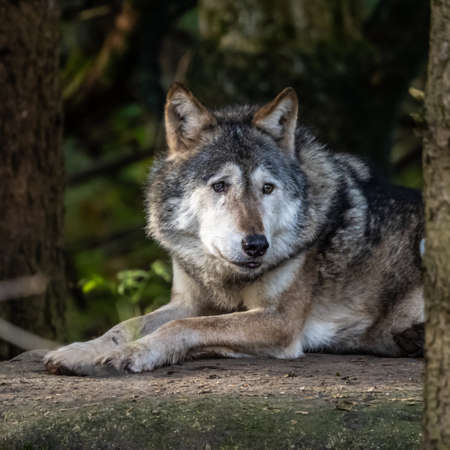 The wolf, Canis lupus, also known as the grey wolf or timber wolf is a canine native to the wilderness and remote areas of Eurasia and North America. Banco de Imagens