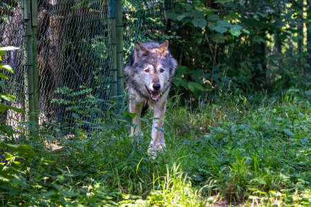 The wolf, Canis lupus, also known as the grey wolf or timber wolf is a canine native to the wilderness and remote areas of Eurasia and North America. Stockfoto