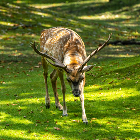 The fallow deer, Dama mesopotamica is a ruminant mammal belonging to the family Cervidae.