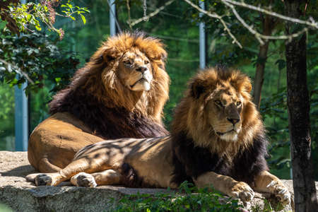 The lion, Panthera leo is one of the four big cats in the genus Panthera and a member of the family Felidae. Banco de Imagens