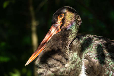 The Black stork, Ciconia nigra is a large bird in the stork family Ciconiidae. Reklamní fotografie