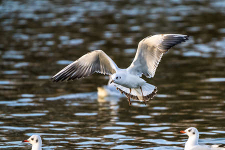 The European Herring Gull, Larus argentatus is a large gull, One of the best known of all gulls along the shores of western Europe