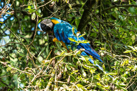 The Blue-and-yellow Macaw, Ara ararauna also known as the blue-and-gold macaw, is a large South American parrot with mostly blue top parts and light orange underparts Imagens