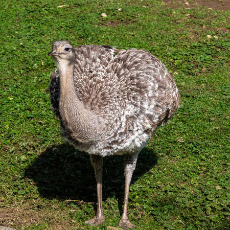 Darwin's rhea, Rhea pennata also known as the lesser rhea. It is a large flightless bird, but the smaller of the two extant species of rheas.