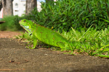 Green iguana in Fort de France, Martinique. Also known as the American iguana is a lizard reptile in the genus Iguana in the iguana family. And in the subfamily Iguanidae.