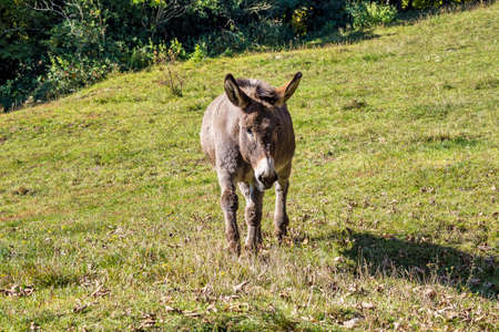 French countryside. Donkey on a field near Leoncel in the landscape of the Vercors, Drome, France in Europe