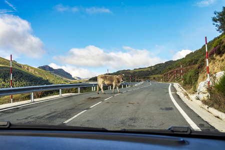 Landscape with cows on the road of the Picos de Europa, Asturias and Cantabria in Spain Imagens