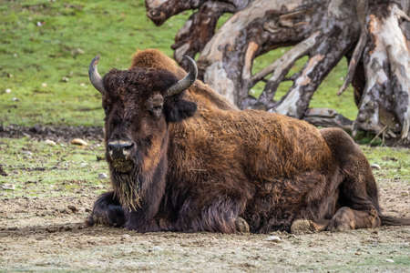 The American bison or simply bison, also commonly known as the American buffalo or simply buffalo, is a North American species of bison that once roamed North America in vast herds. 版權商用圖片