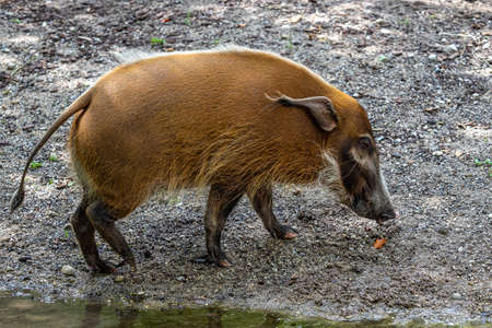 Red river hog, Potamochoerus porcus, also known as the bush pig. This pig has an acute sense of smell to locate food underground.