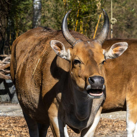 Banteng, Bos javanicus or Bull It is a type of wild cattle But there are key characteristics that are different from cattle and bison: a white band bottom in both males and females.