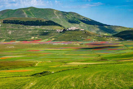 Lentil flowering with poppies and cornflowers in Castelluccio di Norcia, national park sibillini mountains, Italy, Europe 免版税图像