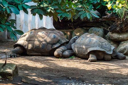 Aldabra giant tortoise, Curieuse Marine National Park, Curieuse Island, Seychelles 免版税图像