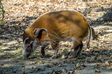 Red river hog, Potamochoerus porcus, also known as the bush pig. This pig has an acute sense of smell to locate food underground. 免版税图像