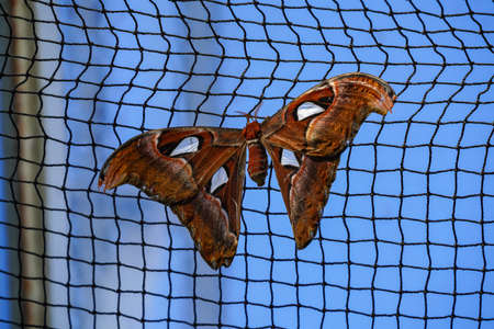 Atlas moth, Attacus atlas, these are the largest moths in the world with a wingspan from 10-12 inches, native to Southeast Asia