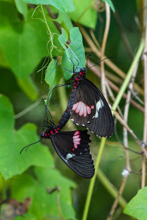 Papilio rumanzovia, the scarlet Mormon or red Mormon, is a butterfly of the family Papilionidae. It is found in the Philippines but has been recorded as a vagrant to southern Taiwan.