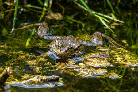Common frog, Rana temporaria, single reptile croaking in water, also known as the European common frog or European grass frog, is a semi-aquatic amphibian of the family Ranidae 免版税图像