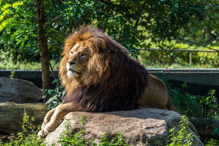 The lion, Panthera leo is one of the four big cats in the genus Panthera and a member of the family Felidae. 免版税图像