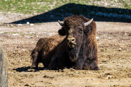 The American bison or simply bison, also commonly known as the American buffalo or simply buffalo, is a North American species of bison that once roamed North America in vast herds. 免版税图像