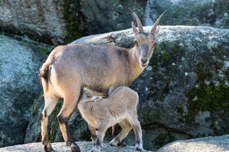 Young baby mountain ibex - capra ibex in the zoo