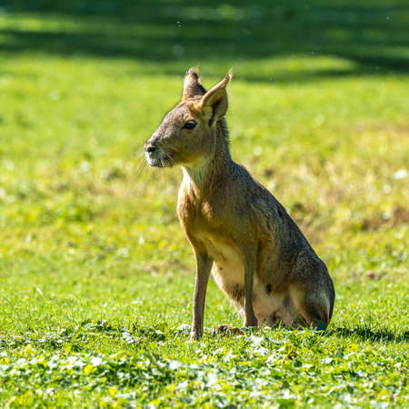 Patagonian Mara, Dolichotis patagonum. These large relatives of guinea pigs are common in the Patagonian steppes of Argentina but live in other areas of South America as well such as Paraguay. 免版税图像