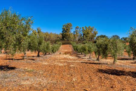 Olive plantations near Merida Caceres in Extremadura region, Spain
