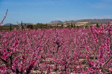 Peach blossom in Cieza, Mirador El Horno. Photography of a blossoming of peach trees in Cieza in the Murcia region. Peach, plum and nectarine trees. Spain