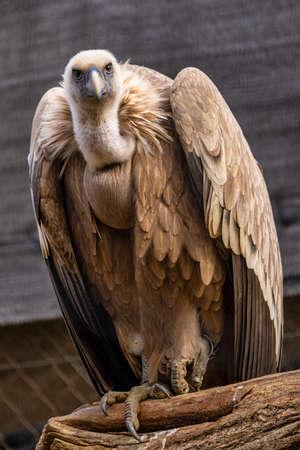 Griffon vulture, Gyps fulvus in Jerez de la Frontera, Andalusia in Spain