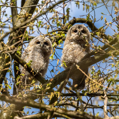 Juvenile tawny owls, Strix aluco perched on a twig. This brown owl is a stocky, medium-sized owl commonly found in woodlands across much of the Palearctic.