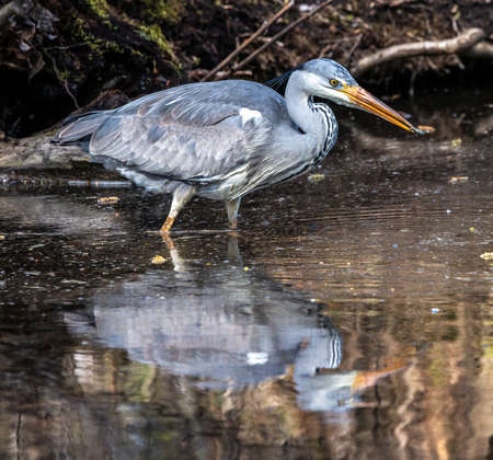 While fishing in the moving water this grey heron, Ardea cinerea successfully caught a fish. This is a long-legged predatory wading bird of the heron family, Ardeidae