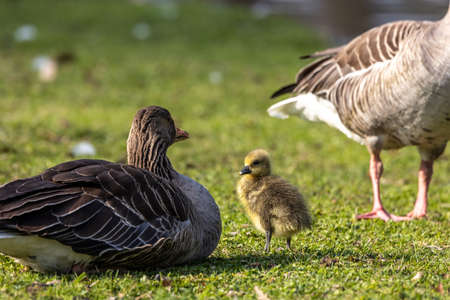 Family of greylag geese with small babies. The greylag goose, Anser anser is a large goose species of the waterfowl family Anatidae