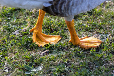 Feet of the bar-headed goose, Anser indicus is a goose that breeds in Central Asia in colonies of thousands near mountain lakes and winters in South Asia, as far south as peninsular India. 免版税图像