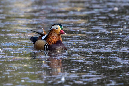 The mandarin duck, Aix galericulata is a perching duck species found in East Asia. Herer at a lake in Munich, Germany