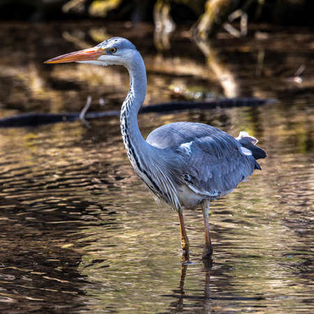 Grey heron, Ardea cinerea, a massive gray bird wading through a flat lake searching for fish, with fluffy feathers, large beak, long feathers on back side of head, scene from wild nature 免版税图像