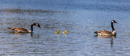Canada goose, Branta canadensis family with young goslings at a lake near Munich in Germany. Branta canadensis is a species of large goose in the waterfowl family Anatidae 免版税图像