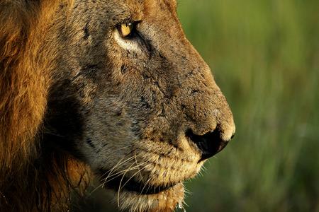 lion tail: Male Lion Profile