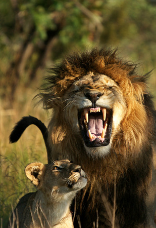 Male Lion and Cub - Smile
