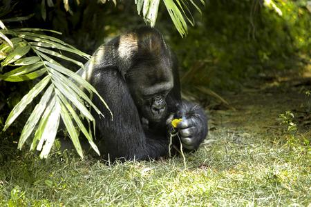 vegatation: gorilla