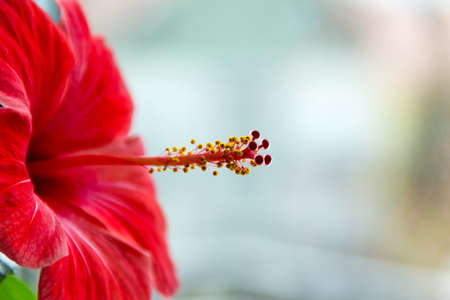 stigmata: Macro view of a beautiful red hibiscus blossom with stamens and stigmas