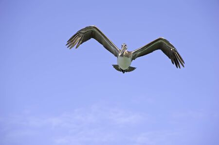 The Flying Pelican - Pelican flys over a Florida beach