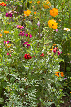 on a very sunny day in june in south germany you see details and colors of cottage country flowers in garden ambiance of farmhouse with great orange red and pink and blue colors