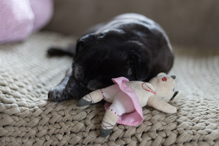 black pug mops named adelheid sleeping on sofa at afternoon with her plushy