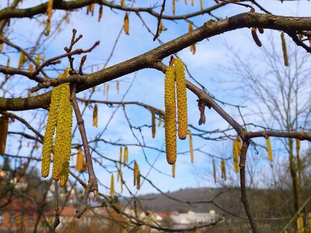 hazel branches: Catkins of hazel in spring