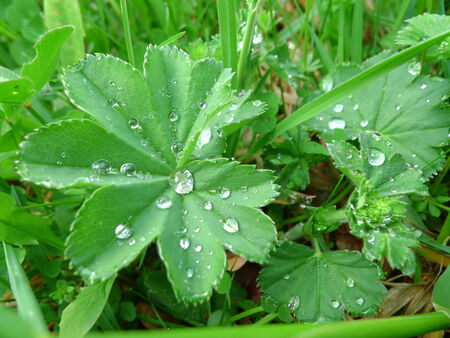 alchemilla: Ladys mantle (Alchemilla vulgaris) with drops of water Stock Photo