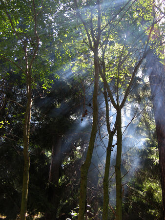 penetrating: Sunlight penetrating the forest and mist Stock Photo