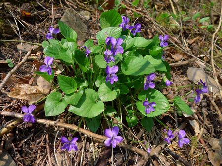 underbrush: Early Dog-violet  Viola reichenbachiana  in forest