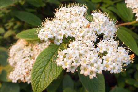 Flowers of Viburnum lantana, Wayfarer, Wayfaring Tree