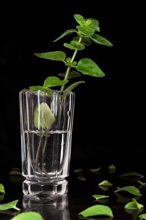 One stem of oregano (Lamiaceae) in small glasses on black background